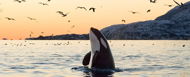 Orca with birds in the wild