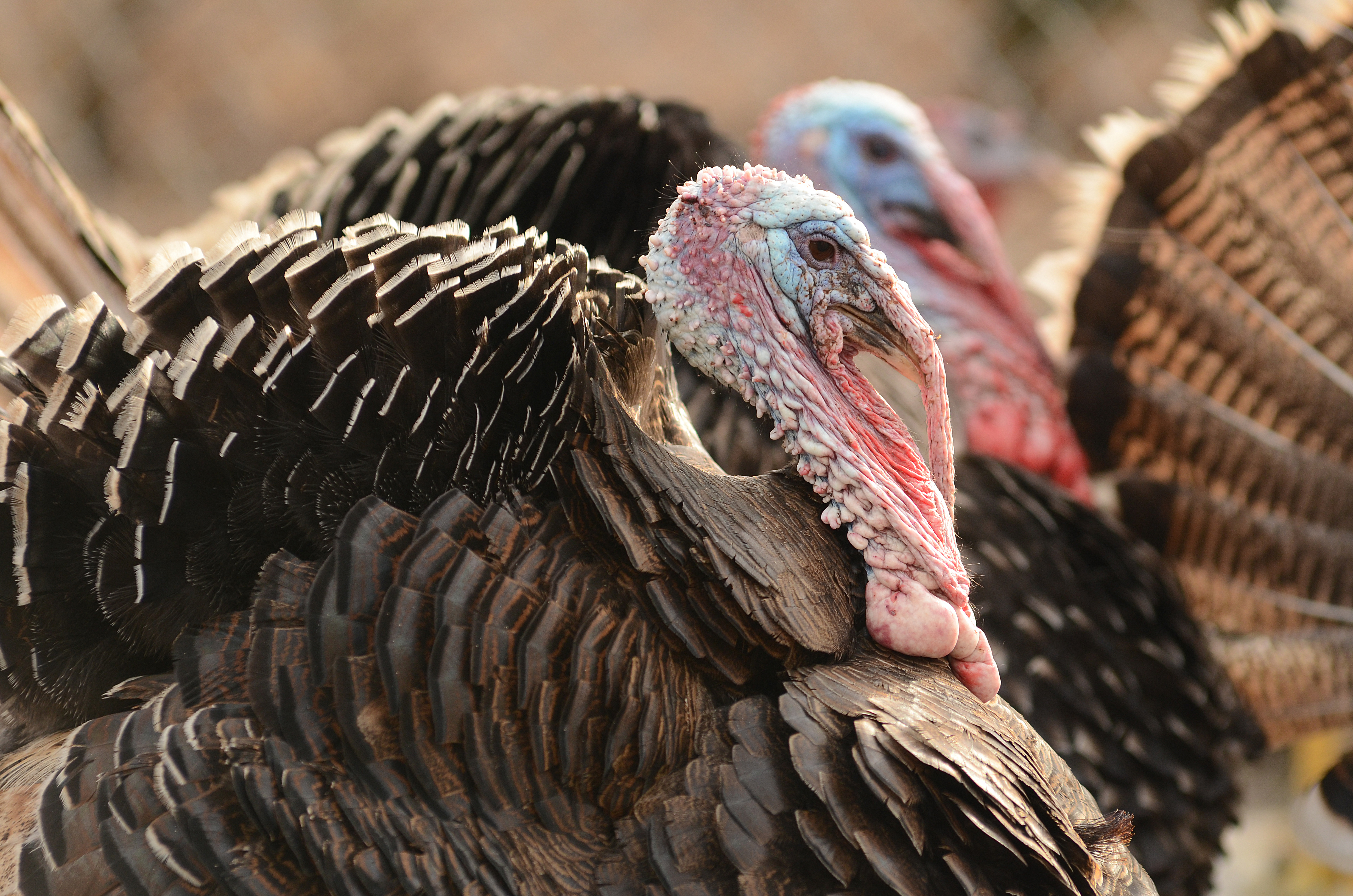 Wild-Turkeys
