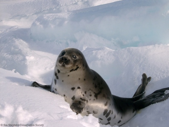 baby-seal-2