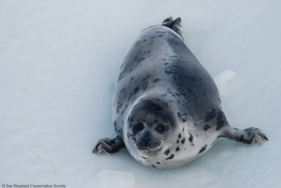 baby-seal-3