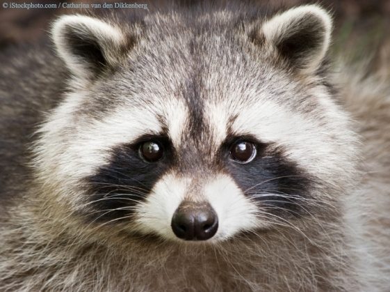 raccoon7