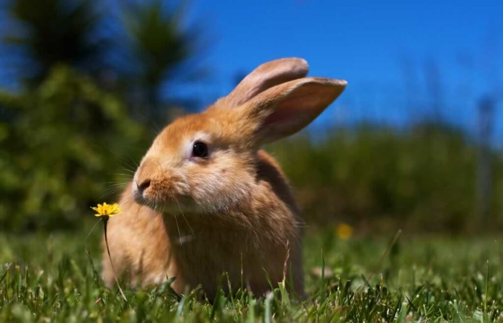 Cute brown bunny on lawn with small yellow flower
