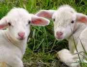 Two white lambs lying on grass looking back at camera