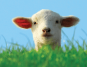 "PETA Zoom background with picture of lamb and text ""Waiting for a sign? THIS IS IT! GO VEGAN."""